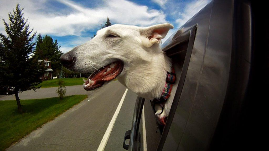 Putting body parts out of the car window effects your dogs