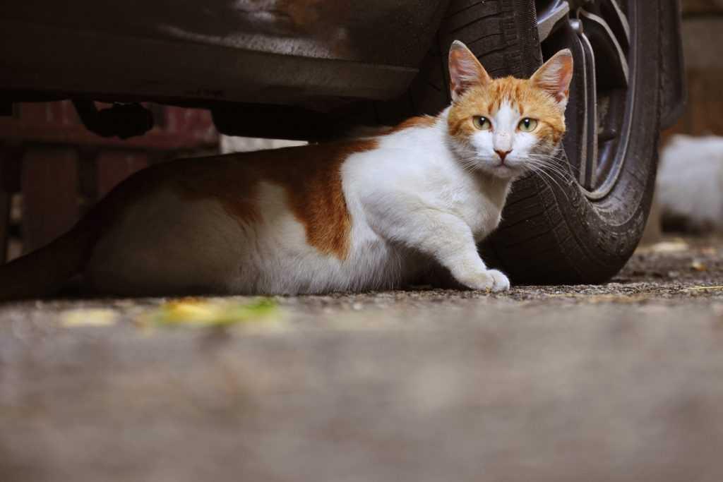 keep cat off cars